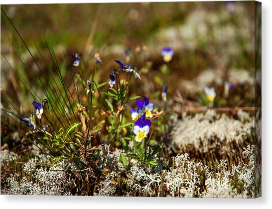 Jenny Lake Canvas Print - Viola. Wild Flowers Of The Northern Russia by Jenny Rainbow