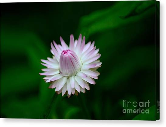 Violet And White Flower Sepals And Bud Canvas Print