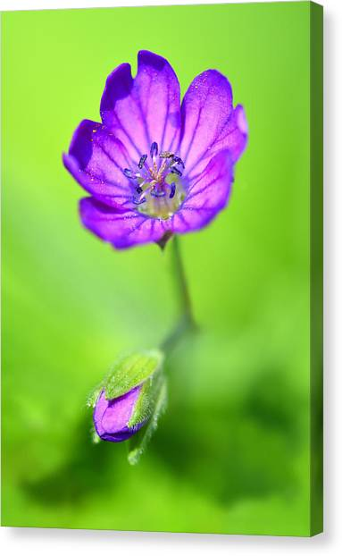 Violet Flame Canvas Print