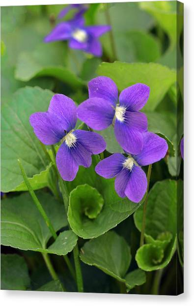 Violet Trio Canvas Print