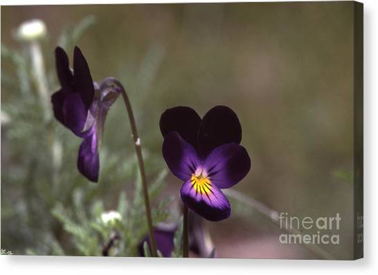 Violets -33 Canvas Print by Stephen Parker