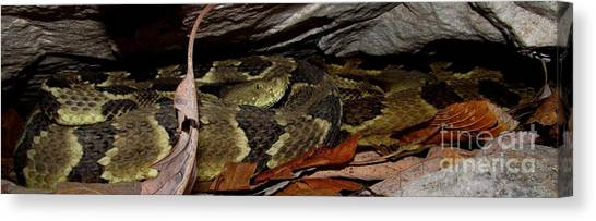 Timber Rattlesnakes Canvas Print - Viper Den by Joshua Bales