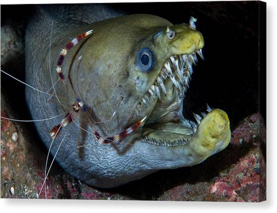 Shrimping Canvas Print - Viper Moray And Boxer Shrimp by C?dric P?neau