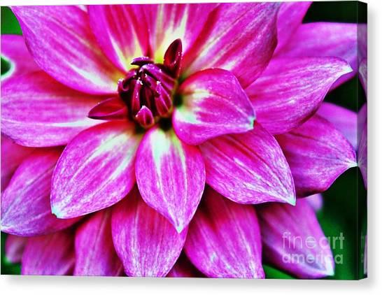 Virbrant Pink Dahlia Canvas Print