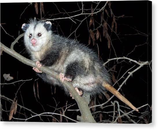 Virginia Opossum Canvas Print