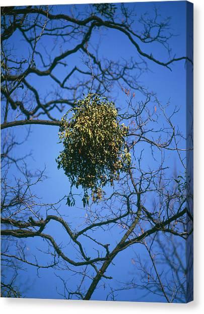 Mistletoe Canvas Print - Viscum Album. by Bjorn Svensson/science Photo Library