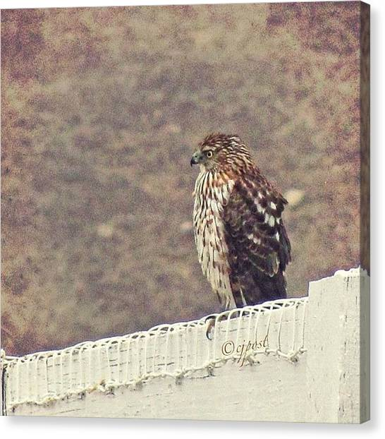 Hawks Canvas Print - Visiter At The Fence by Cynthia Post