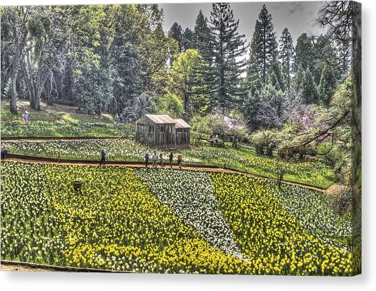 Visitors On Daffodil Hill Canvas Print