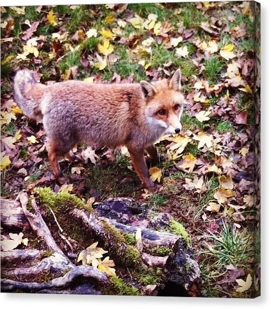 Foxes Canvas Print - #volpe #fox #montedimezzo #riservamab by Nadia Falasca