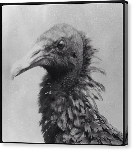 Vultures Canvas Print - #vulture #blackvulture #nature by Robb Needham