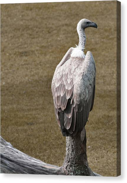 Vulture On Guard Canvas Print