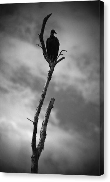 Vulture Silhouette Canvas Print