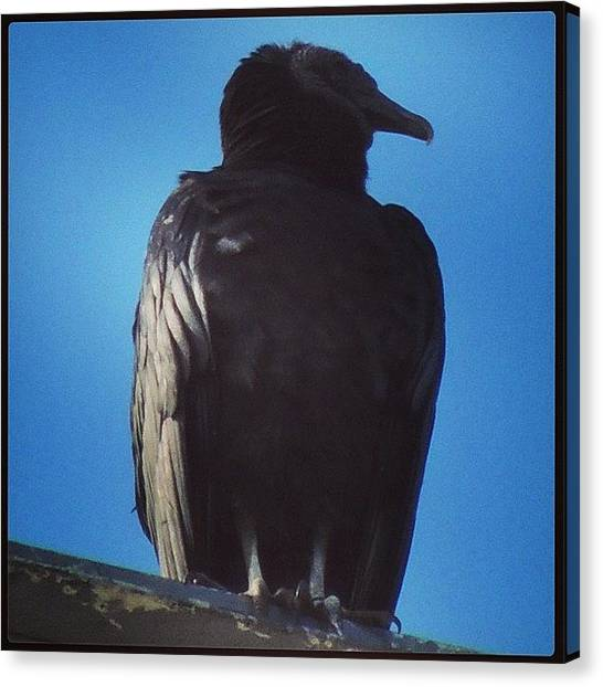 Vultures Canvas Print - #vulture #vultures #blackvulture #birds by Robb Needham