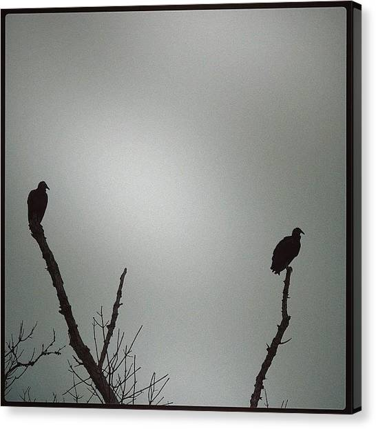 Vultures Canvas Print - #vultures #blackvultures #vulture by Robb Needham