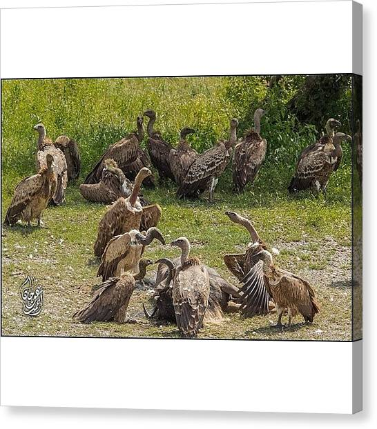 Vultures Canvas Print - #vultures Fighting Over A Carcass Of A by Ahmed Oujan