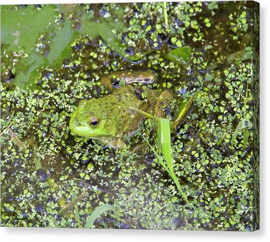 Bullfrogs Canvas Print - Wa, Juanita Bay Wetland, Bullfrog by Jamie and Judy Wild