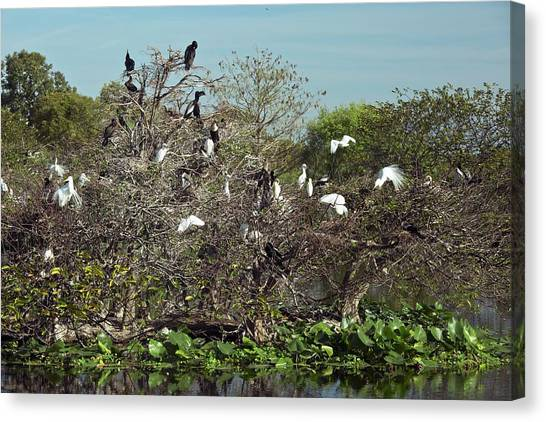Anhinga Canvas Print - Wading Birds Roosting In A Tree by Bob Gibbons