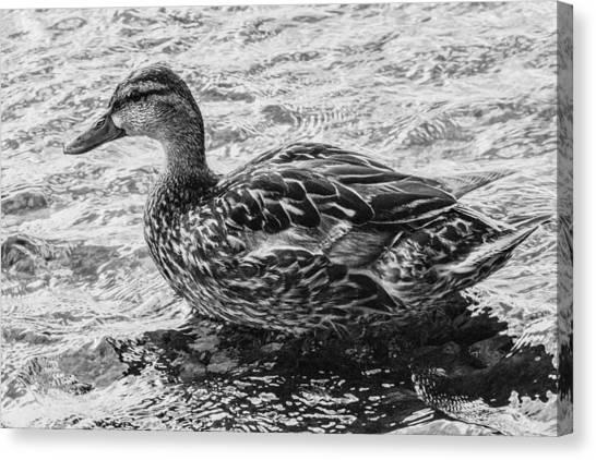 Wading Female Mallard Canvas Print