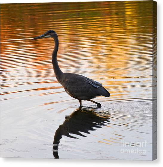 Wading For You Canvas Print