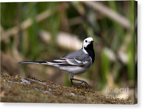Wagtail's Step Canvas Print