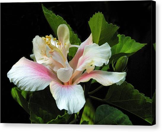Waitangi White Hibiscus Canvas Print