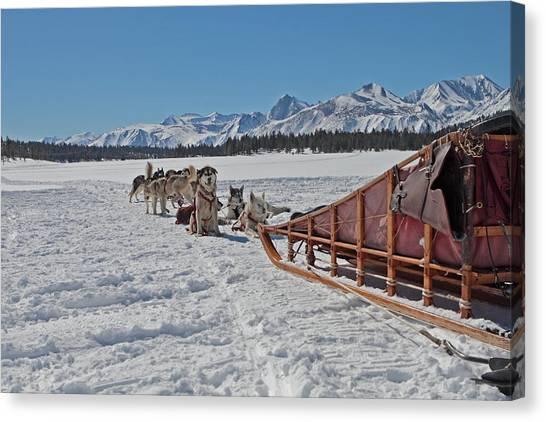 Waiting Sled Dogs  Canvas Print