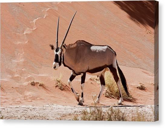 Namib Desert Canvas Print - Walking Male Oryx (oryx Gazella by Jaynes Gallery