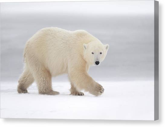 Polar Bears Canvas Print - Walking by Marco Pozzi