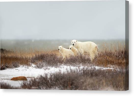 Polar Bears Canvas Print - Walking On The Shore by Marco Pozzi