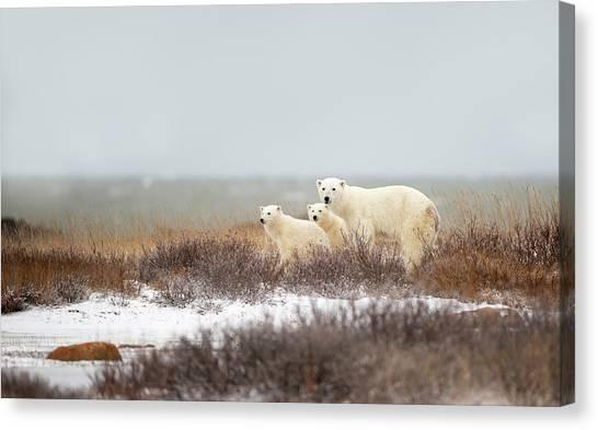 Polar Bears Canvas Print - Walking On The Shore by Marco Pozzi
