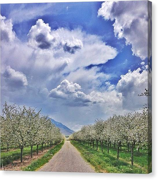 Orchard Canvas Print - Walking Through The Blooming Orchards  by Cristi Bastian