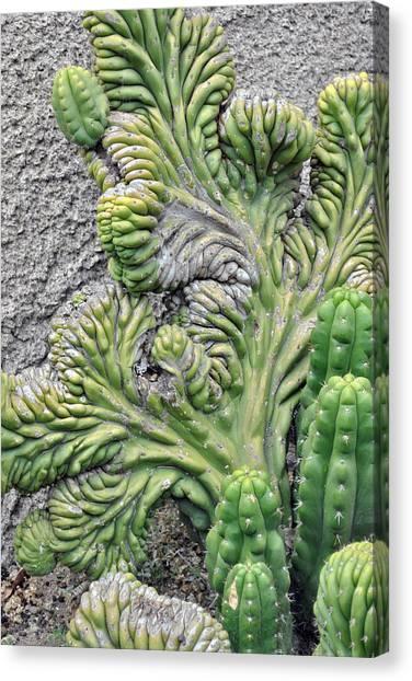 Wall Cactus Canvas Print by Misty Stach