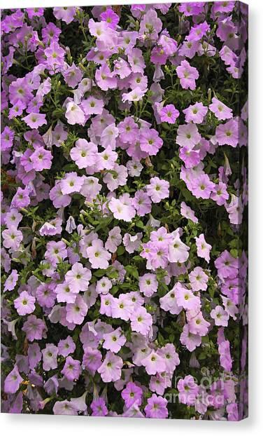 Petunia Canvas Print - Wall Of Petunias by Elena Elisseeva