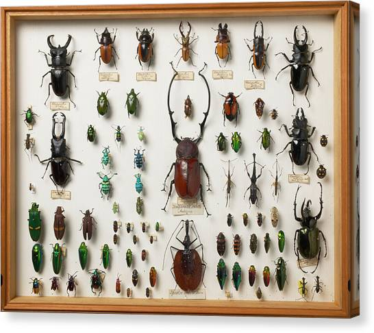 Wallace Collection Beetle Specimens Canvas Print by Natural History Museum, London/science Photo Library