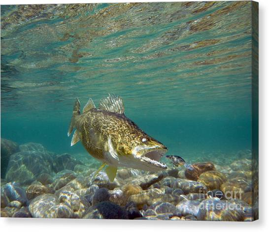 Angling Art Canvas Print - Walleye And Rapala Lure by Paul Buggia