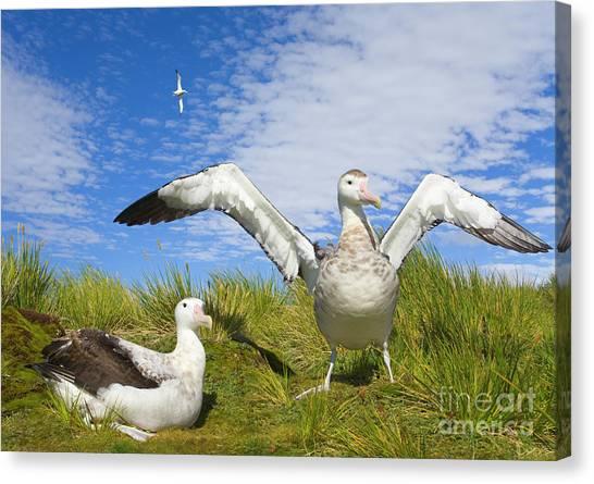 Albatrosses Canvas Print - Wandering Albatross Courting  by Yva Momatiuk John Eastcott
