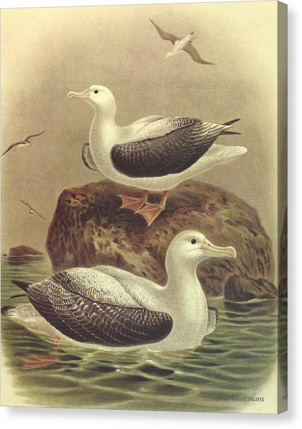 Albatross Canvas Print - Wandering Albatross by Dreyer Wildlife Print Collections