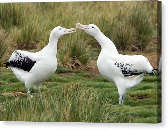 Albatrosses Canvas Print - Wandering Albatross Pair by William Ervin/science Photo Library