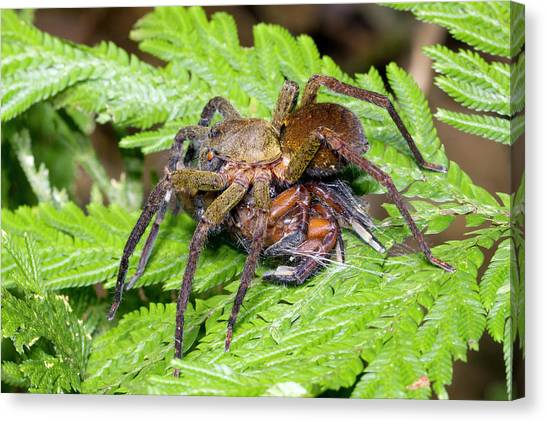 Ecuadorian Canvas Print - Wandering Spider Eating Another Spider by Dr Morley Read