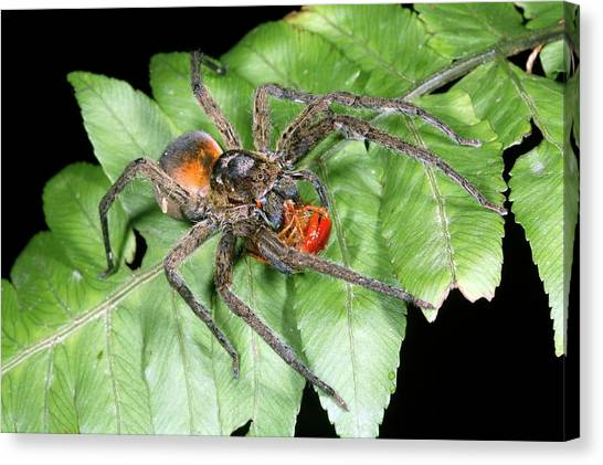Centipedes Canvas Print - Wandering Spider Feeding by Dr Morley Read/science Photo Library