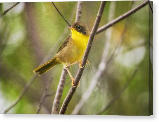 Warblers Canvas Print - Warbler In Sunlight by Susan Capuano
