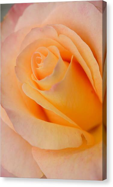 Warm Blush  Canvas Print