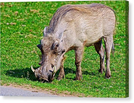 Warthog In Addo Elephant Park Near Port Elizabeth-south Africa  Canvas Print