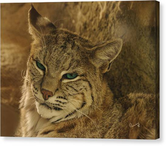Wary Bobcat Canvas Print