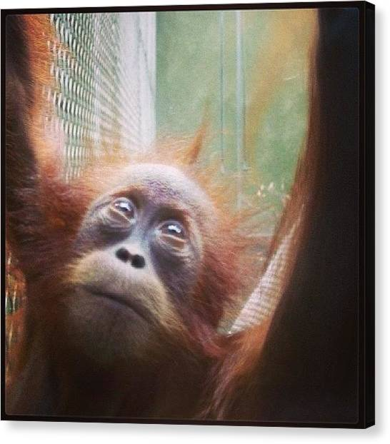 Orangutans Canvas Print - Was Looking Though My Old Photos And by Miss Wilkinson
