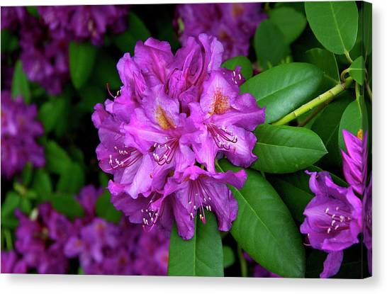Washington Coastal Rhododendron Canvas Print