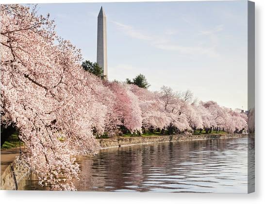 Washington Dc Cherry Blossoms And Canvas Print by Ogphoto