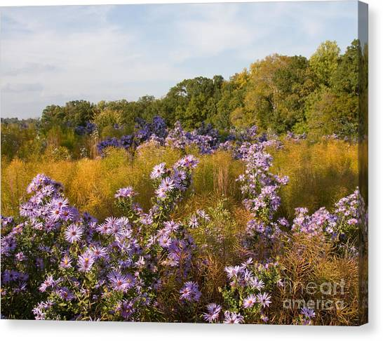Washington Fall Asters  Canvas Print