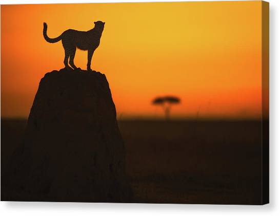 Cheetahs Canvas Print - Watcher by Faisal Alnomas