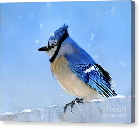 Bluejays Canvas Print - Watching The Snow by Betty LaRue